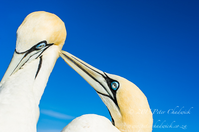 South African Seabirds