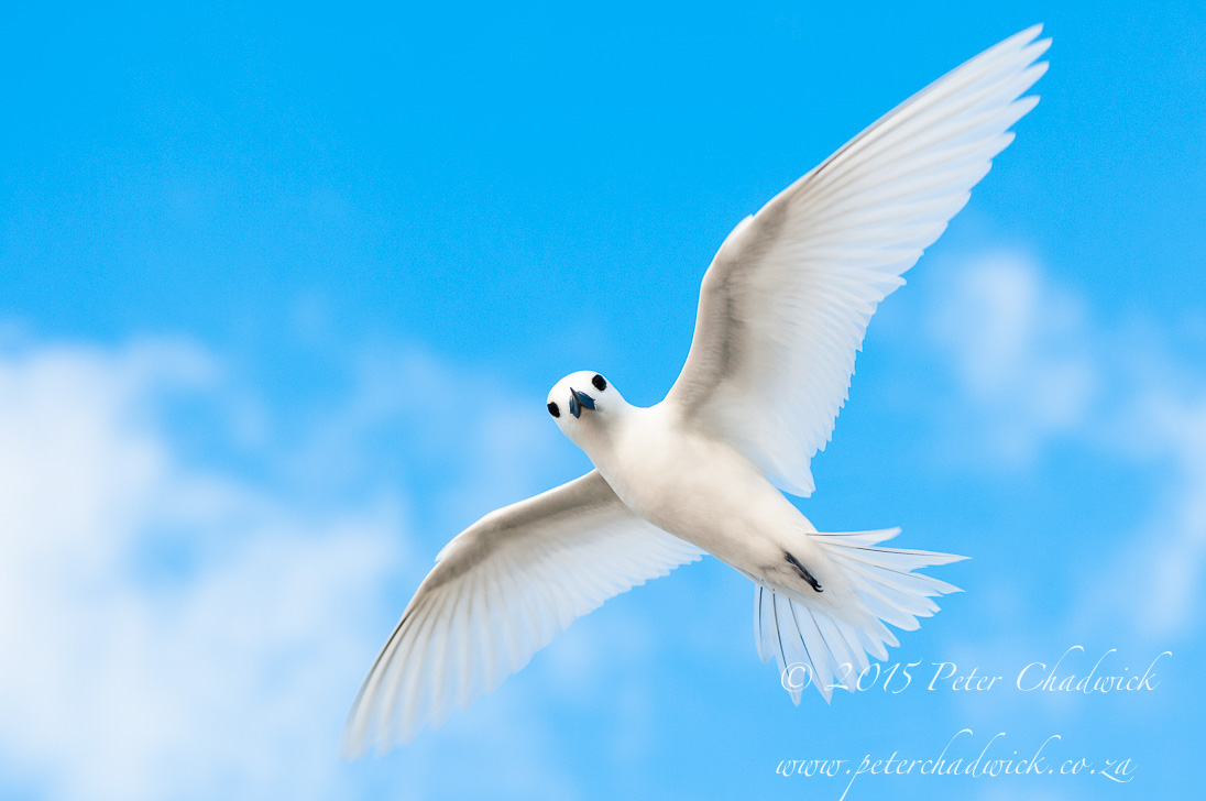 Fairy Tern_©PeterChadwick_AfricanConservationPhotographer