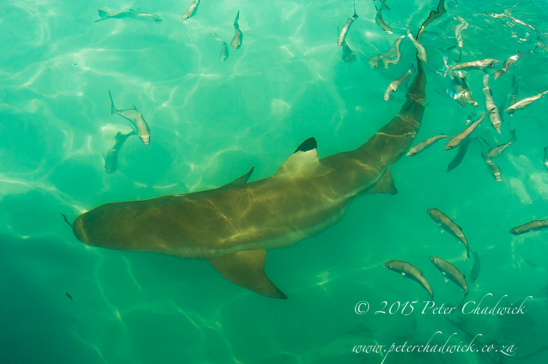 Black-tip Reef Shark_©PeterChadwick_AfricanConservationPhotographer