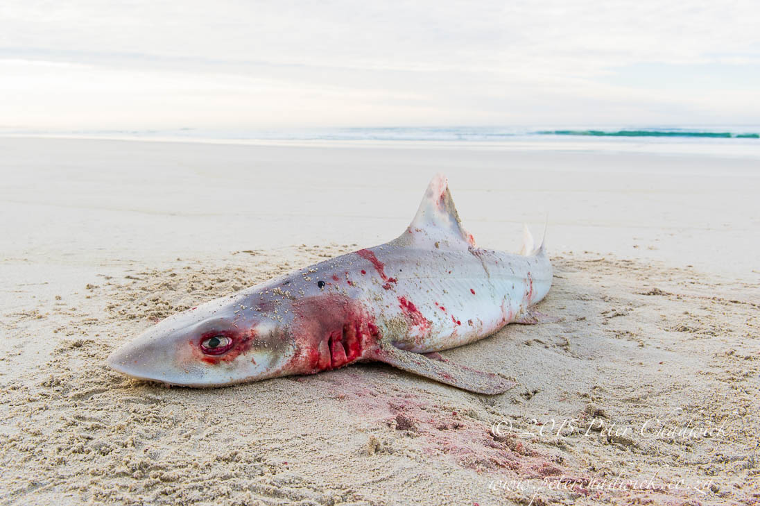 Discarded shark_©PeterChadwick_AfricanConservationPhotographer