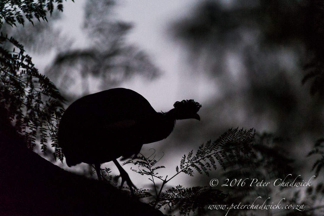 Crested Guineafowl_©PeterChadwick_AfricanConservationPhotographer