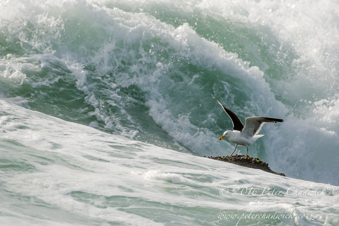 Kelp Gull_©PeterChadwick_AfricanConservationPhotographer