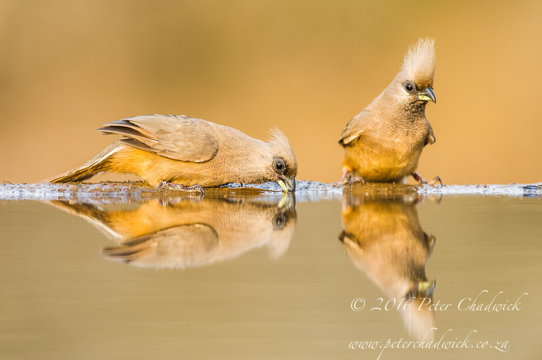 Speckled Mousebird_©PeterChadwick_AfricanConservationPhotographer