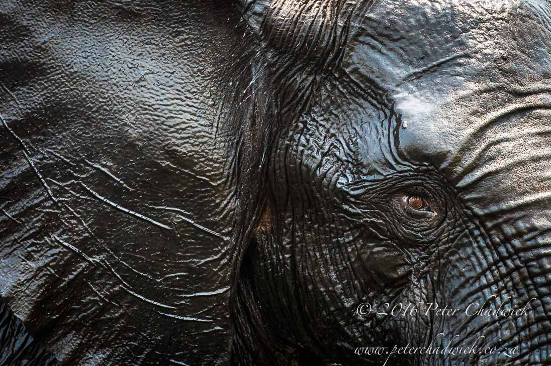 African Elephant Eye_©PeterChadwick_AfricanConservationPhotographer