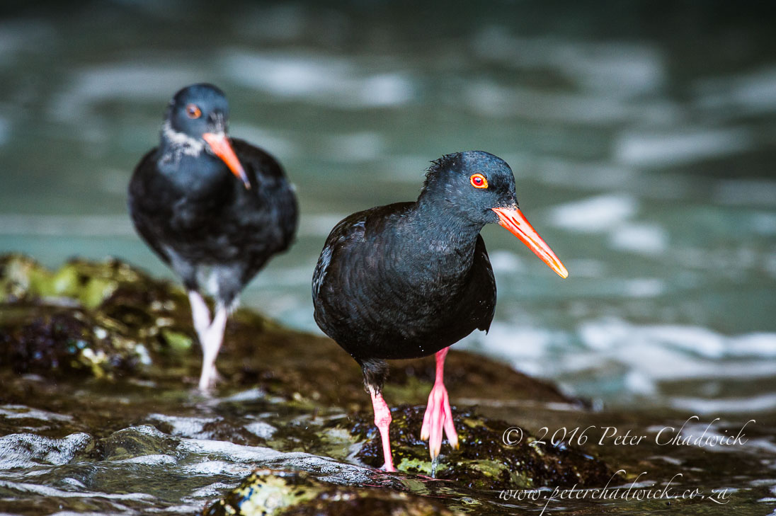 African Black Oystercatcher adult and chick_©PeterChadwick_AfricanConservationPhotographer
