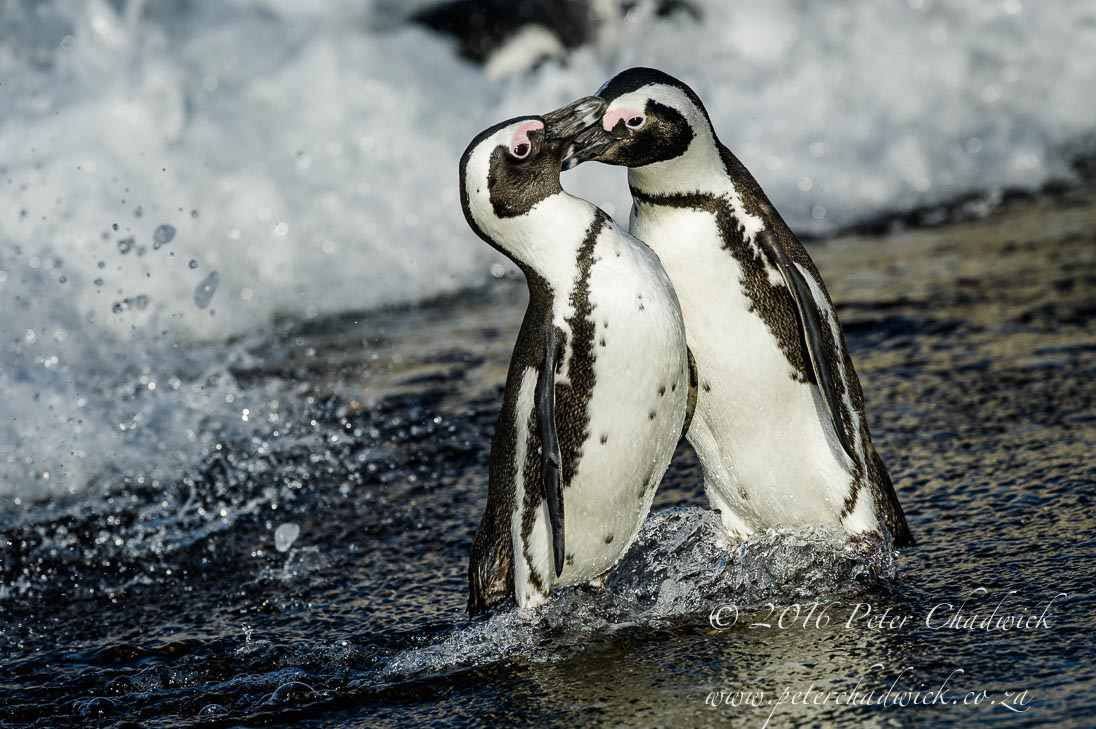 African Penguin fight_©PeterChadwick_AfricanConservationPhotographer