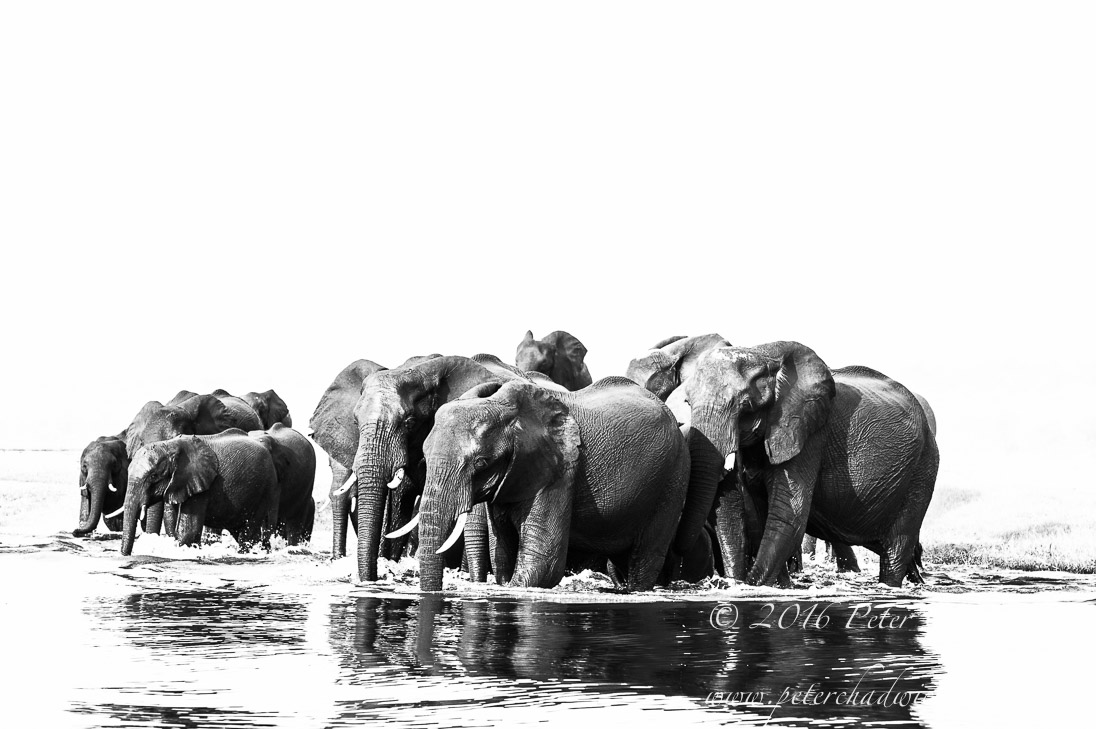 African Elephant herd at river crossing_©PeterChadwick_AfricanConservationPhotographer