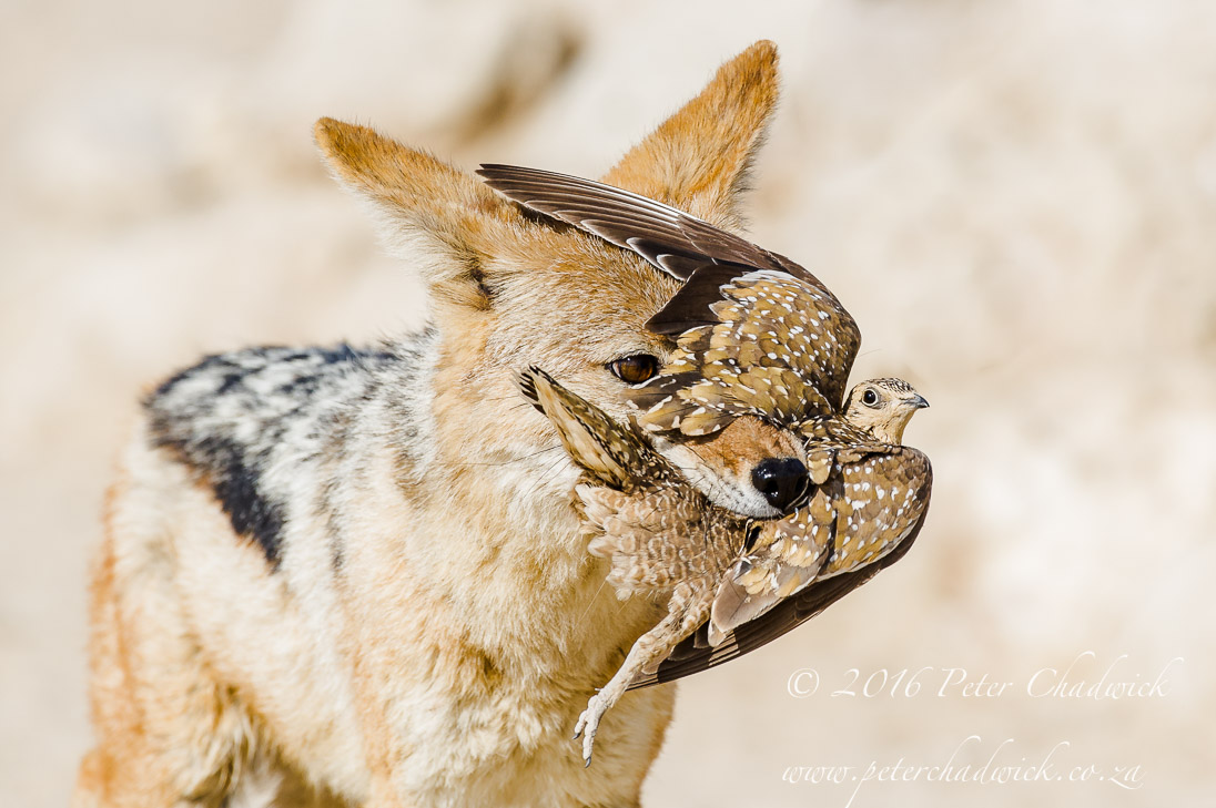 Black-Backed Jackal with Sandgrouse Prey_©PeterChadwick_AfricanConservationPhotographer