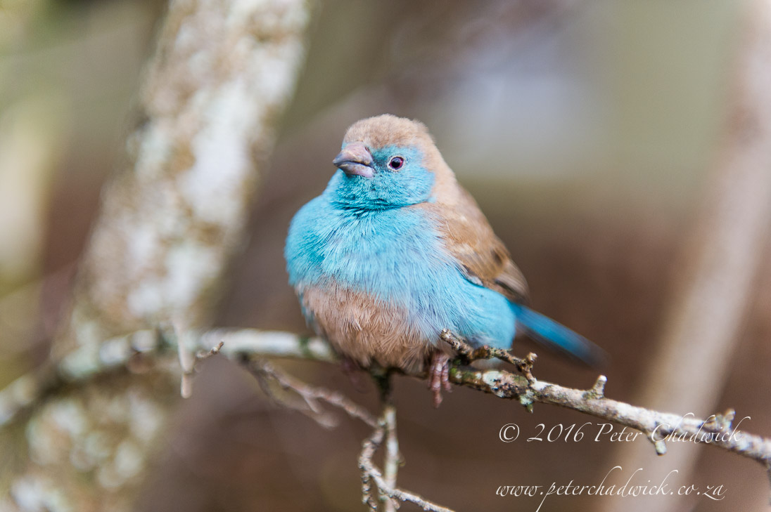 Blue Waxbill_©PeterChadwick_AfricanConservationPhotographer