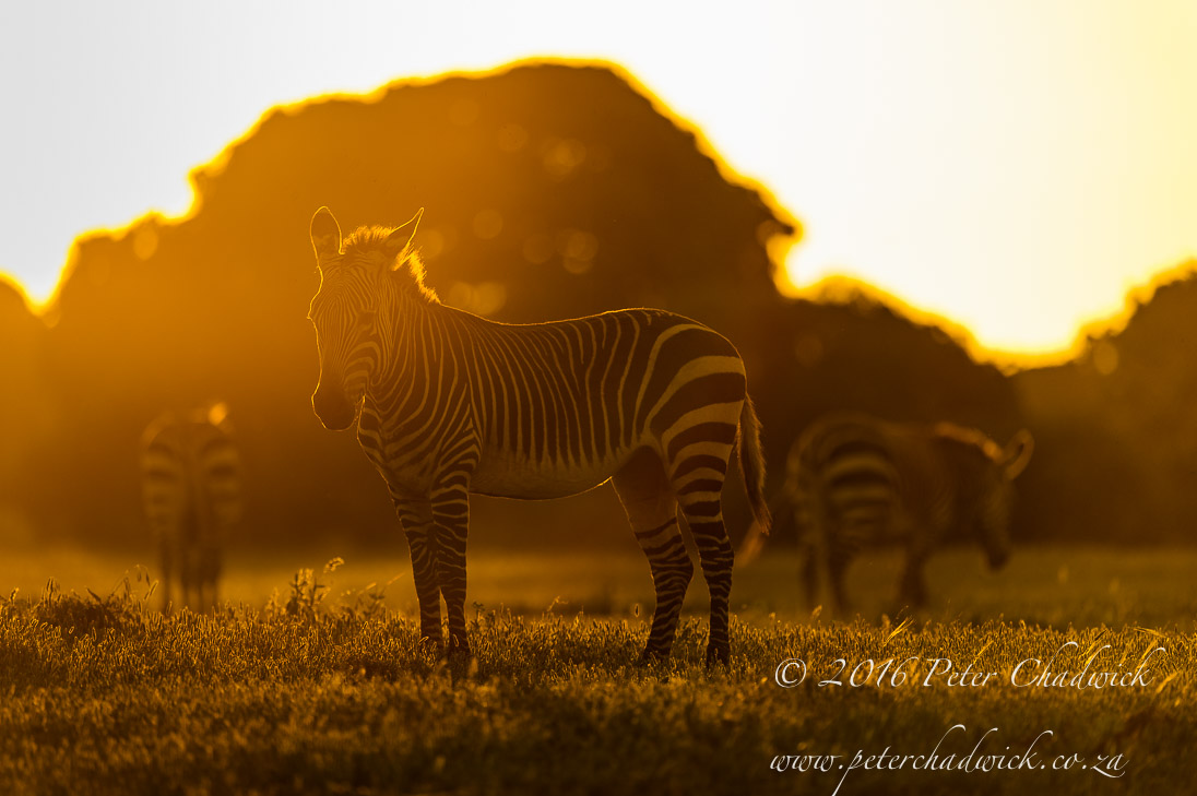Cape Mountain Zebra Sunset_©PeterChadwick_AfricanConservationPhotographer