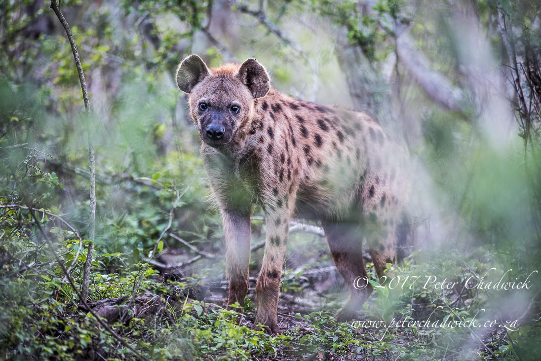 Spotted Hyena in the Forest_©PeterChadwick_AfricanConservationPhotographer