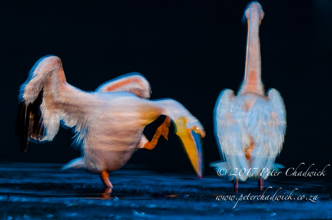 Awakening Great White Pelicans_©PeterChadwick_AfricanConservationPhotographer