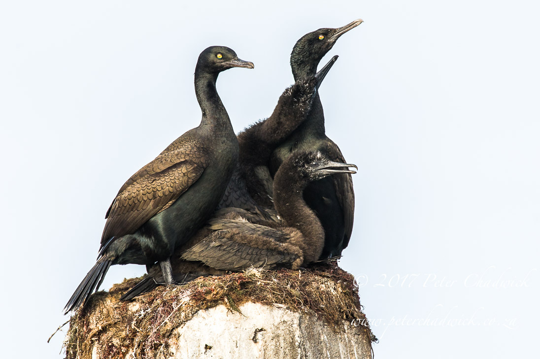 Nesting Bank Cormorants_©PeterChadwick_AfricanConservationPhotographer