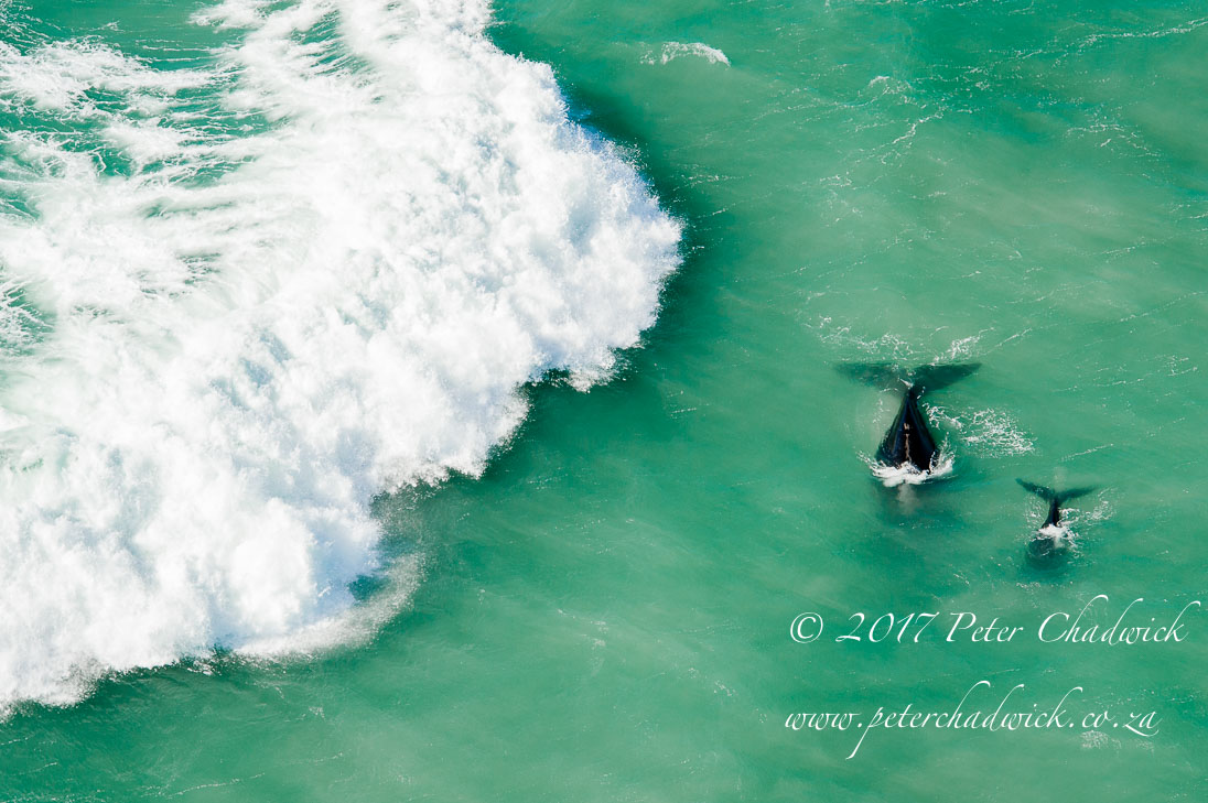 Southern Right Whales amongst a Wild Ocean_©PeterChadwick_AfricanConservationPhotographer