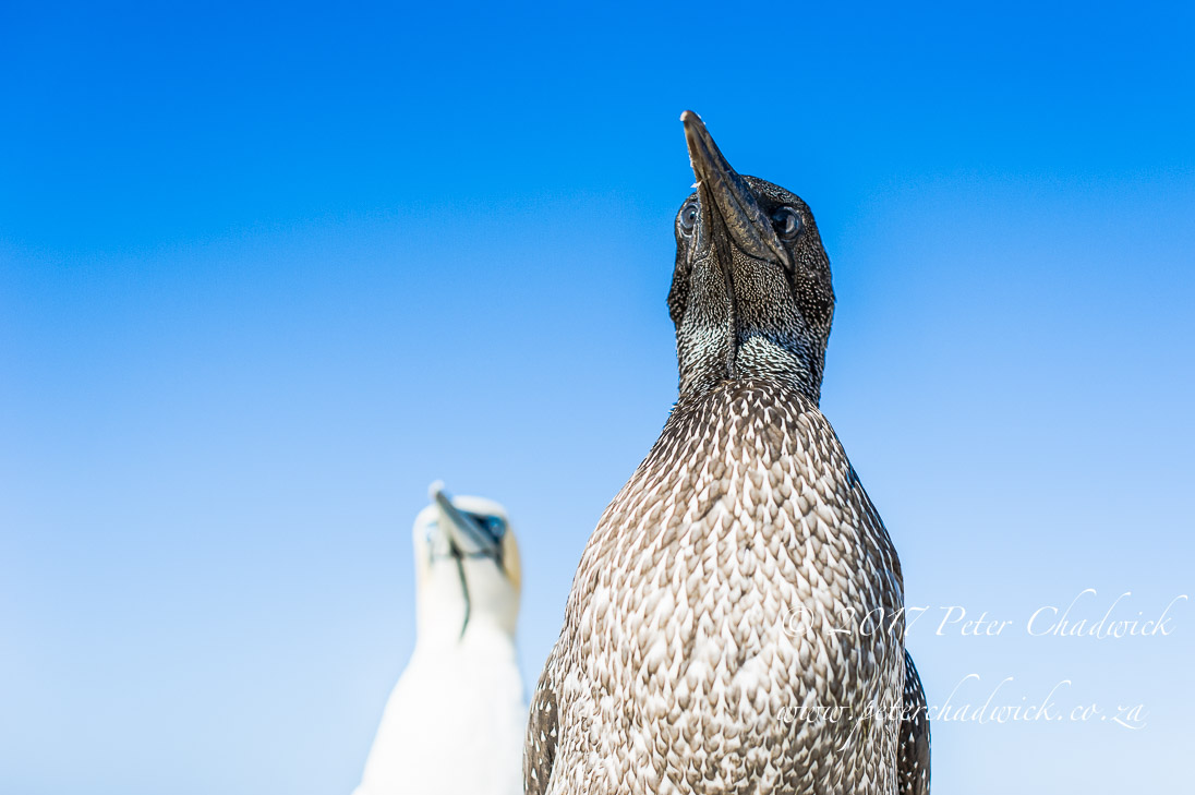 Cape Gannet Juvenile and Adult_©PeterChadwick_AfricanConservationPhotographer
