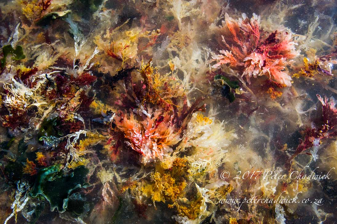 Palettes of Seaweed_©PeterChadwick_AfricanConservationPhotographer