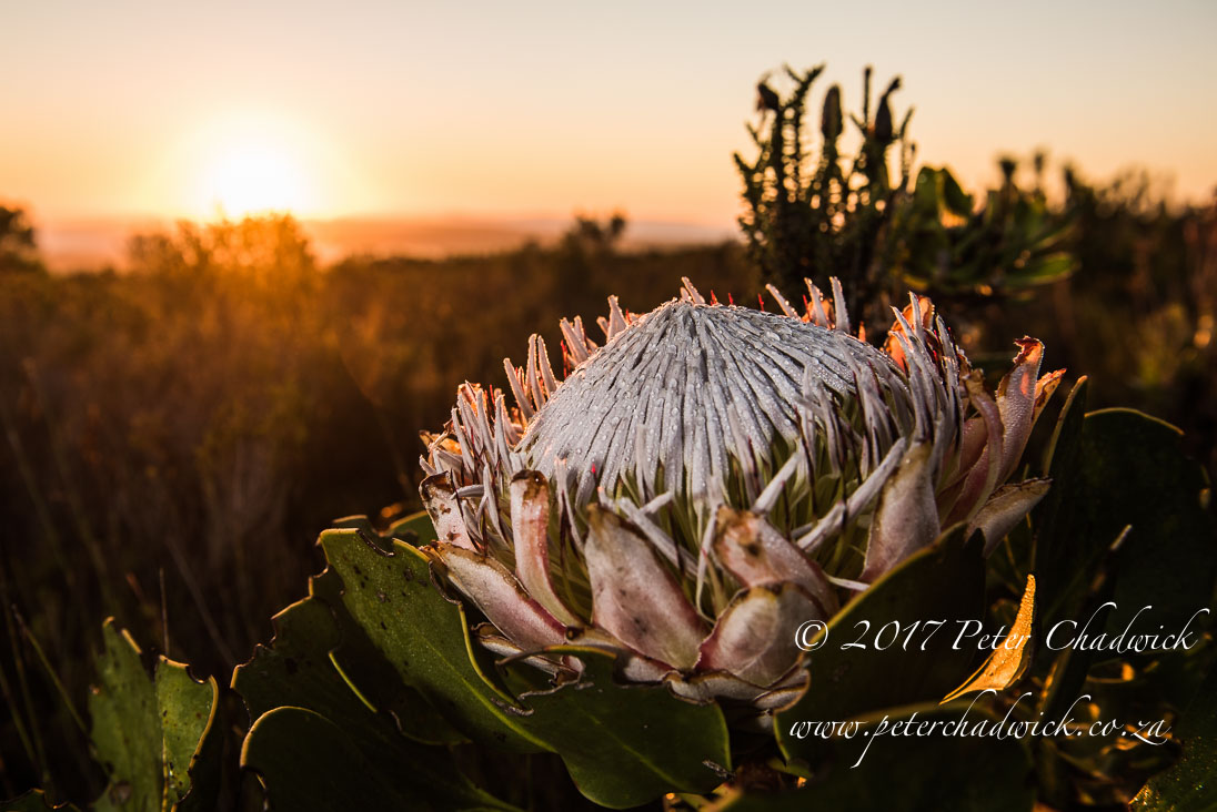 Dawn King Protea_©PeterChadwick_AfricanConservationPhotographer