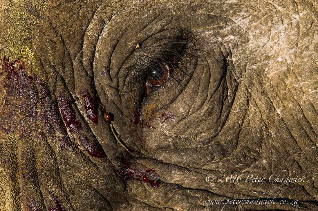 Poached African Elephant_©PeterChadwick_AfricanConservationPhotographer