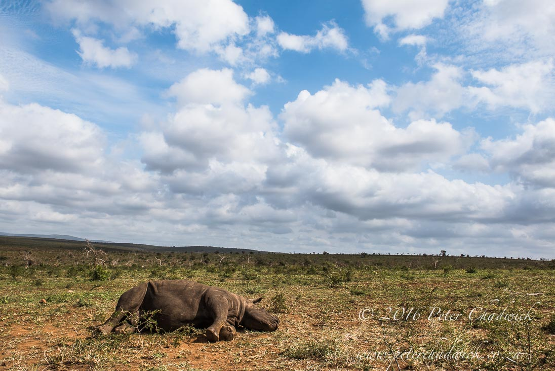 The cause and effect of rhino poaching_©PeterChadwick_AfricanConservationPhotographer 2