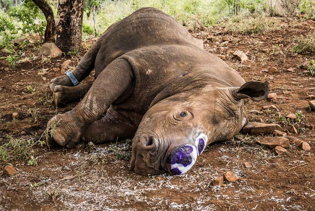 Wounded White Rhino by Peter Chadwick African Conservation Photographer