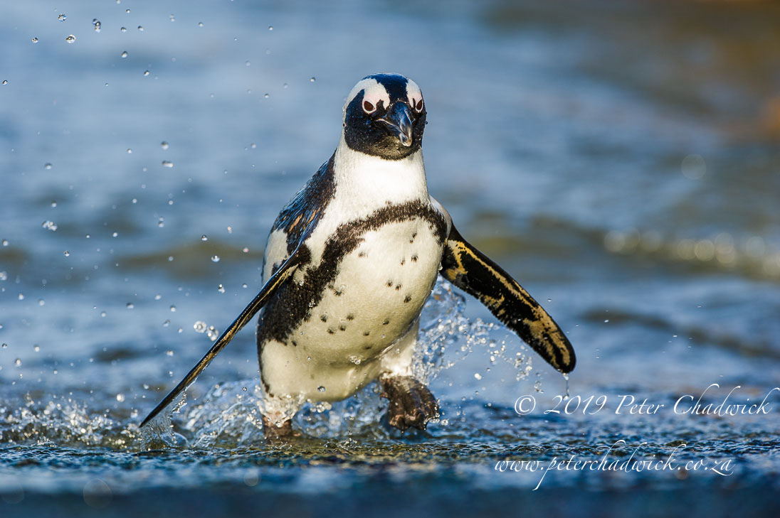 Bettys Bay Marine Protected Area_©PeterChadwick_AfricanConservationPhotographer