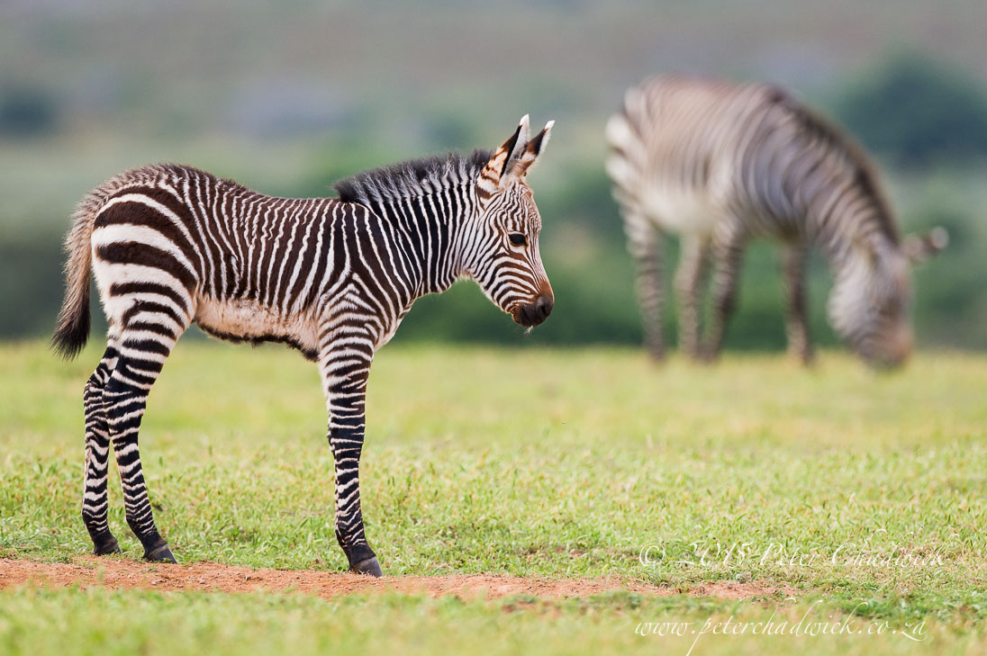 Cape Mountain Zebra_©PeterChadwick_AfricanConservationPhotographer