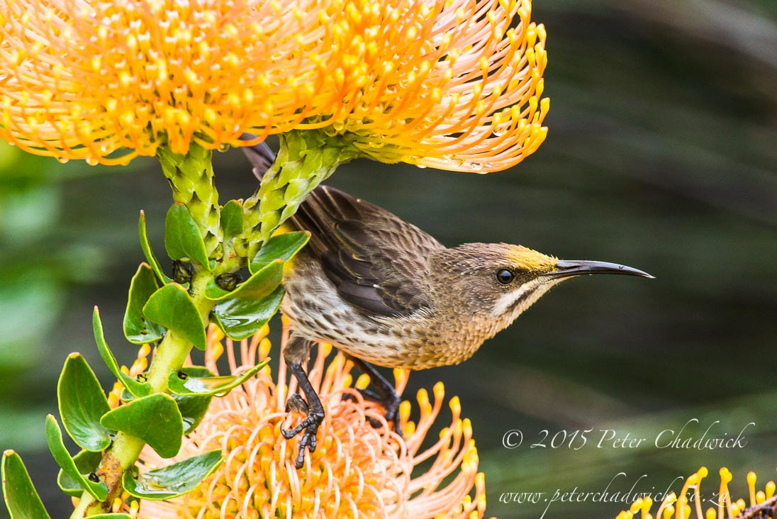 Cape Sugarbird_©PeterChadwick_AfricanConservationPhotographer