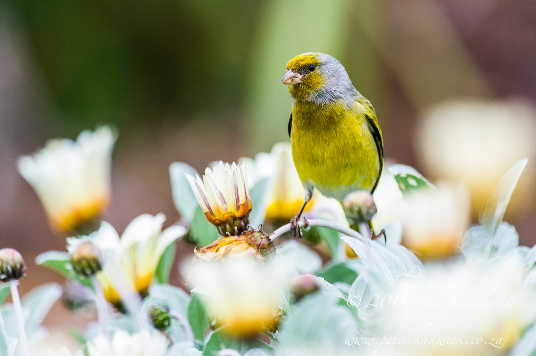 Cape Canary_©PeterChadwick_AfricanConservationPhotographer