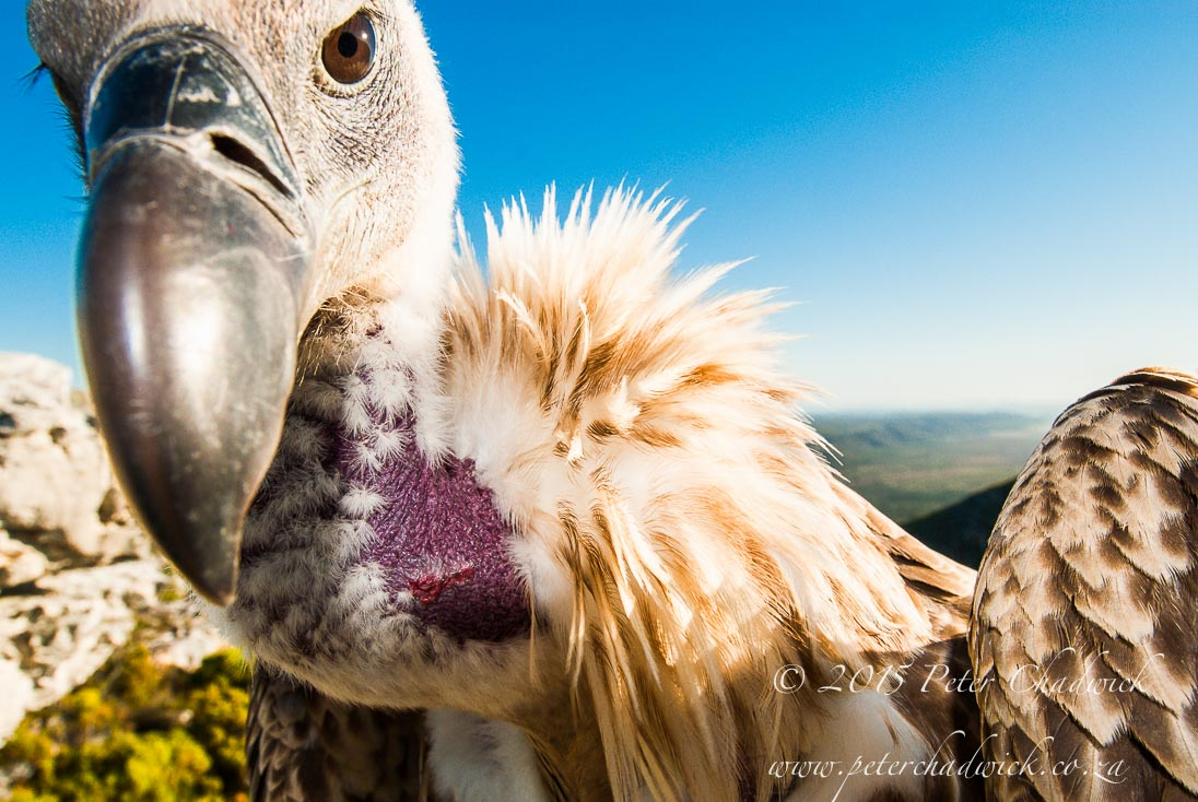 Cape Vulture_©PeterChadwick_AfricanConservationPhotographer