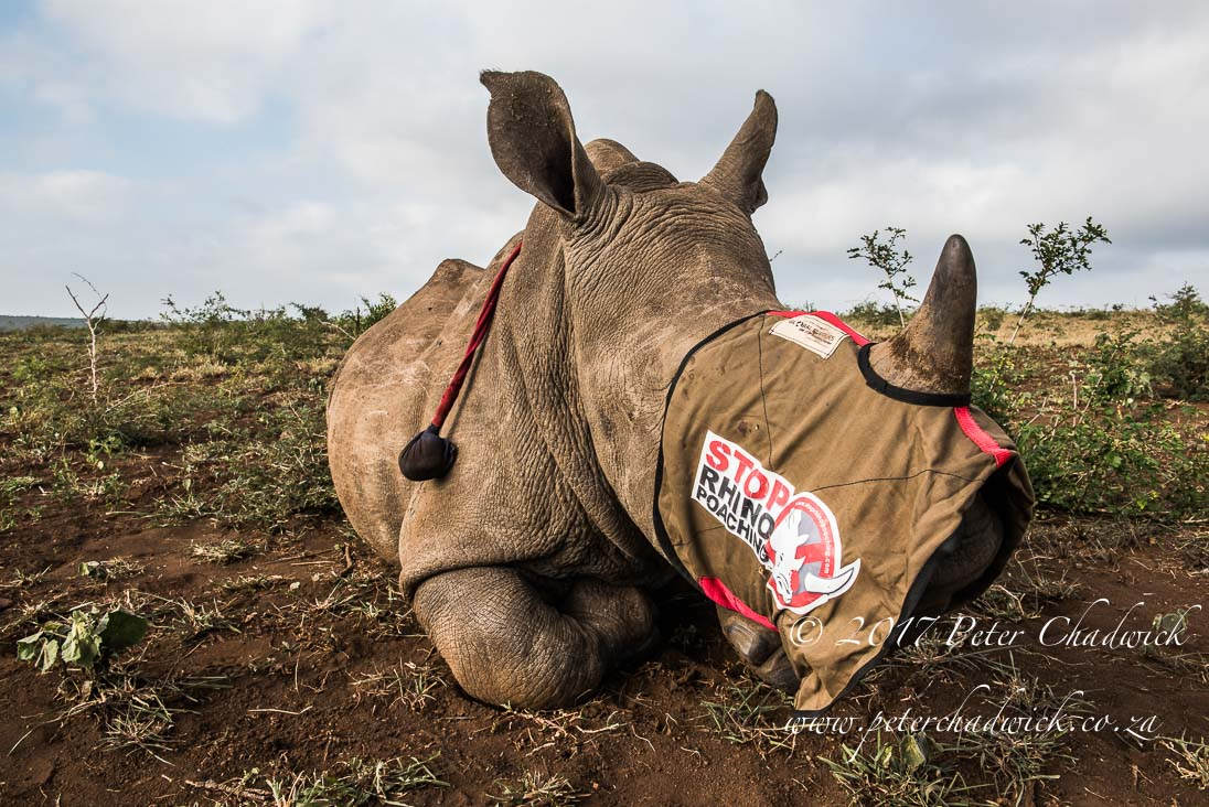 Rhino Conservation_©PeterChadwick_AfricanConservationPhotographer