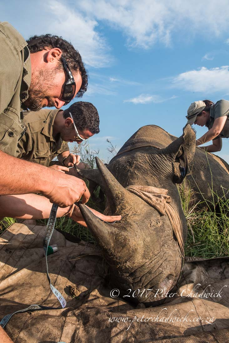 Rhino Conservation_©PeterChadwick AfricanConservationPhotographer