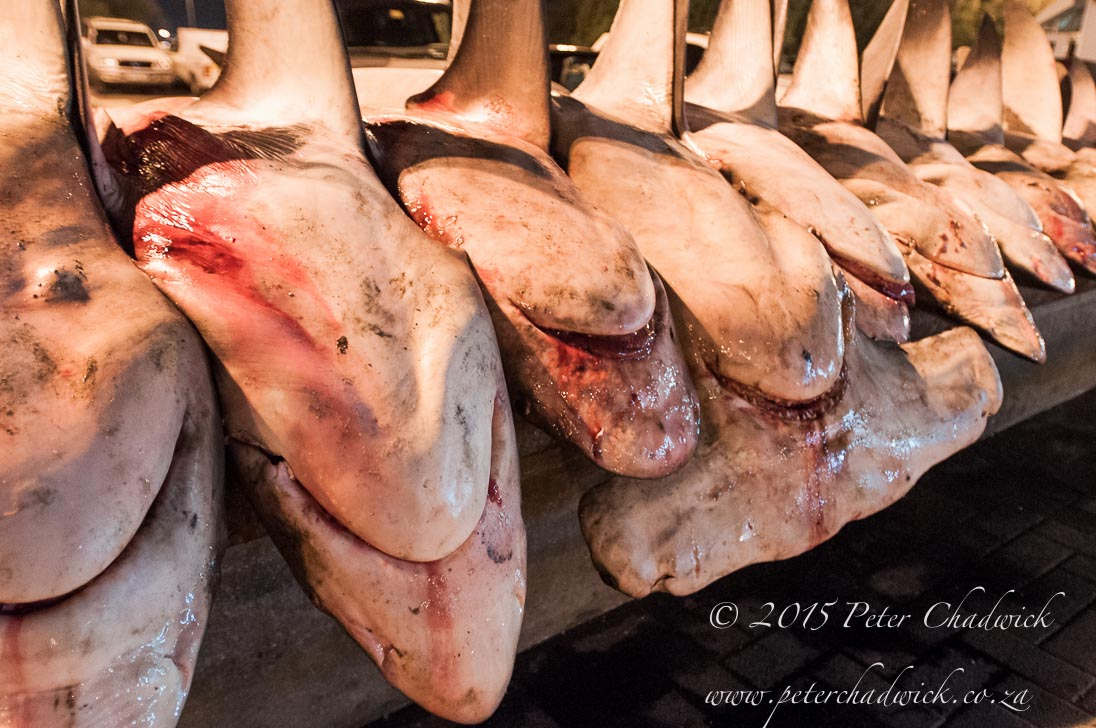 Shark Finning_©PeterChadwick_AfricanConservationPhotographer