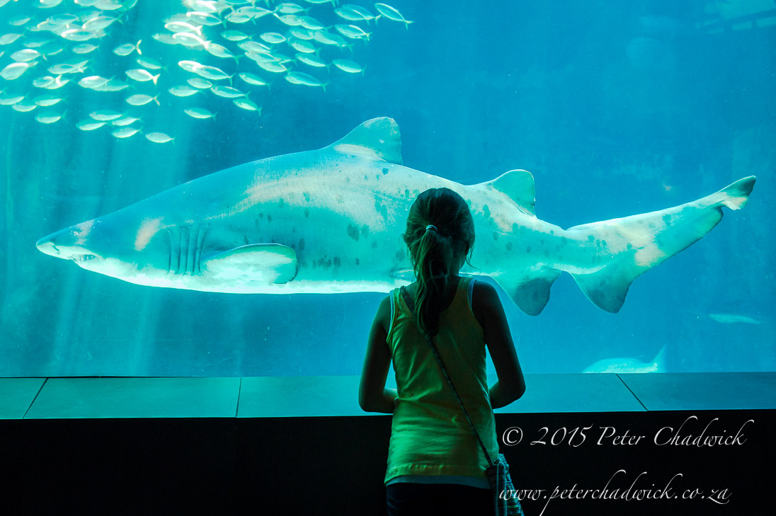 Shark in an Aquarium_©PeterChadwick_AfricanConservationPhotographer