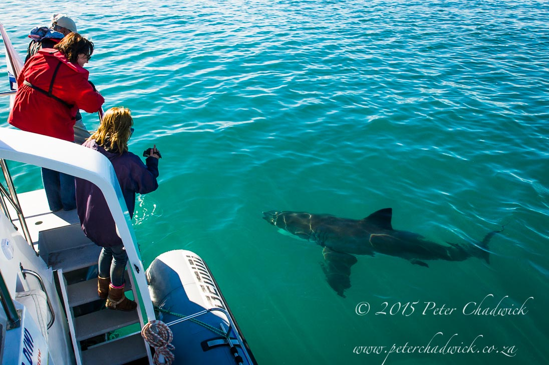 Shark Toruism_©PeterChadwick_AfricanConservationPhotographer