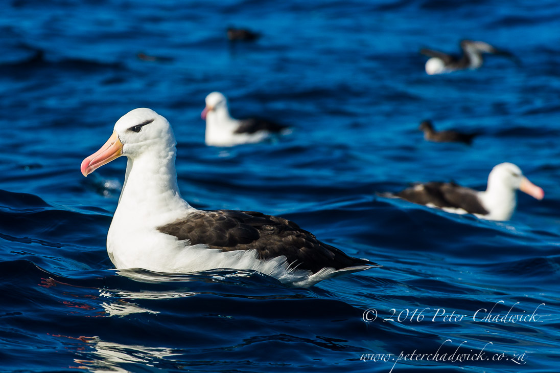 Black Browed Albatross_©PeterChadwick_AfricanConservationPhotographer
