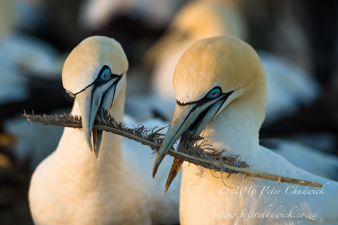 Cape Gannets_©PeterChadwick_AfricanConservationPhotographer