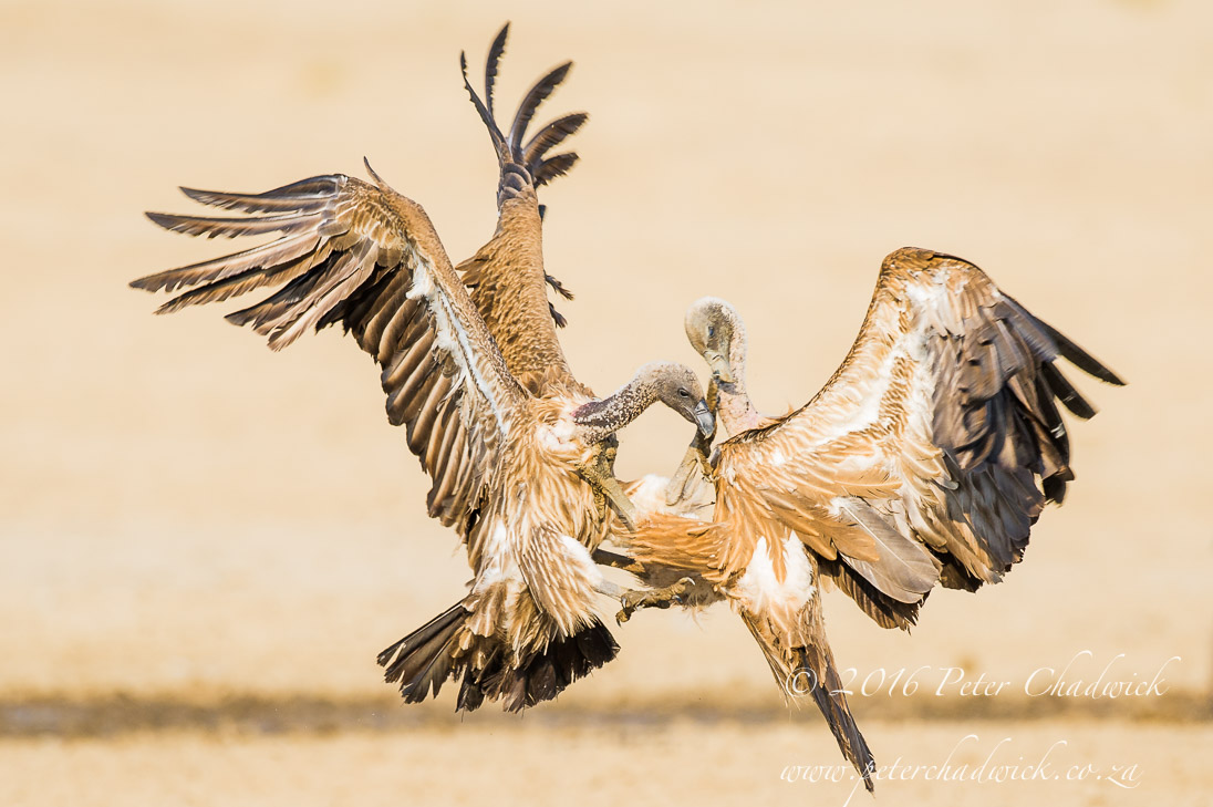 Fighting White Backed Vultures_PeterChadwick_AfricanConservationPhotographer