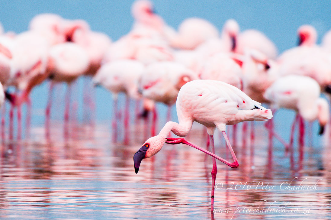 Lesser Flamingo_©PeterChadwick_AfricanConservationPhotographer