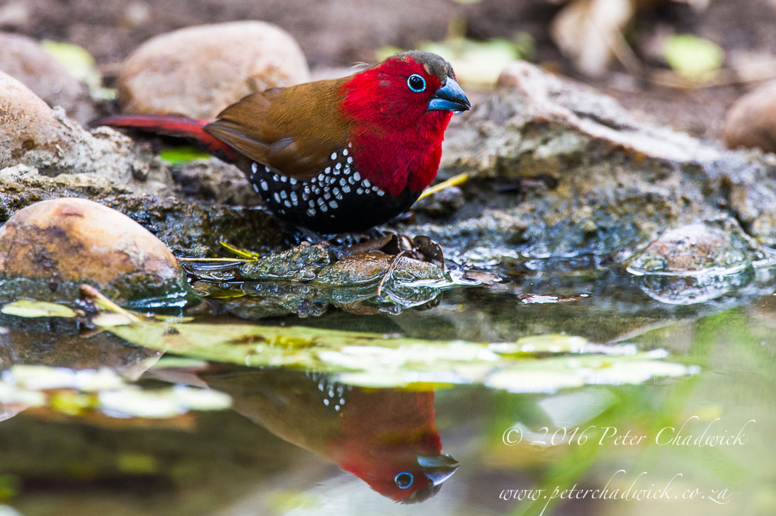 Red Throated Twinspot_©PeterChadwick_AfricanConservationPhotographer