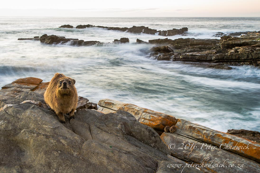 Rock Hyrax on the coastline_©PeterChadwick_AfricanConservationPhotographer