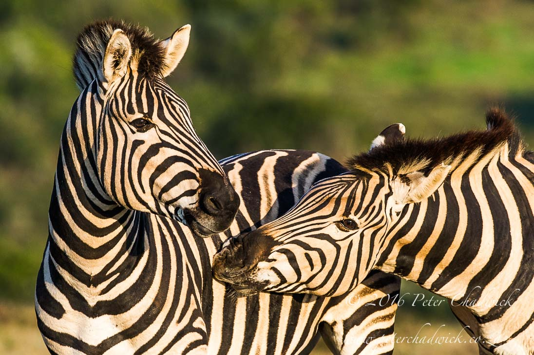 Burchells Zebra stallions greeting_©PeterChadwick_AfricanConservationPhotographer