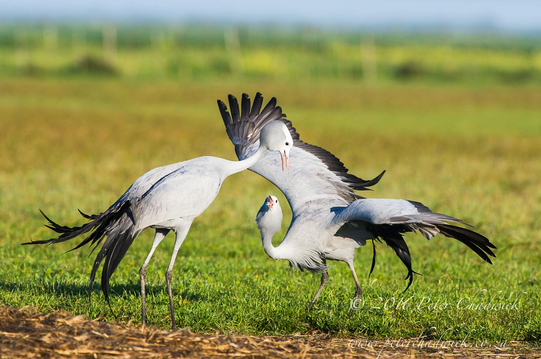 Blue Cranes dancing_©PeterChadwick_AfricanConservationPhotographer