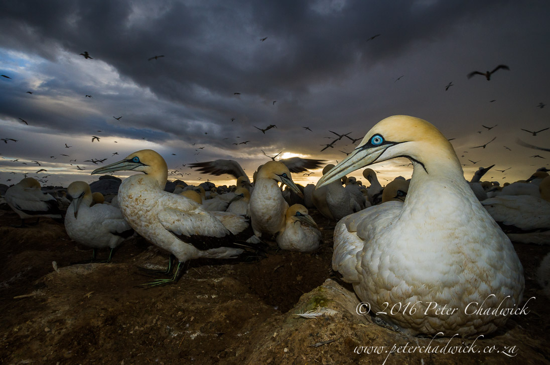 Cape Gannets and stormy skies_©PeterChadwick_AfricanConservationPhotographer