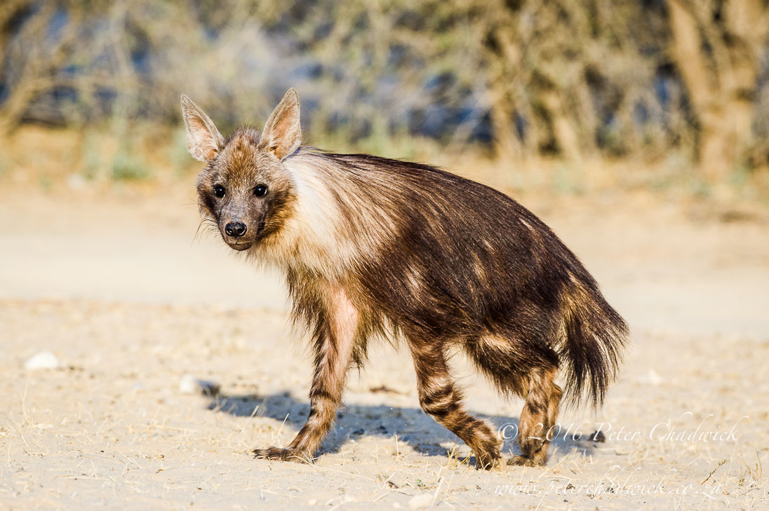 Brown Hyena_©PeterChadwick_AfricanConservationPhotographer