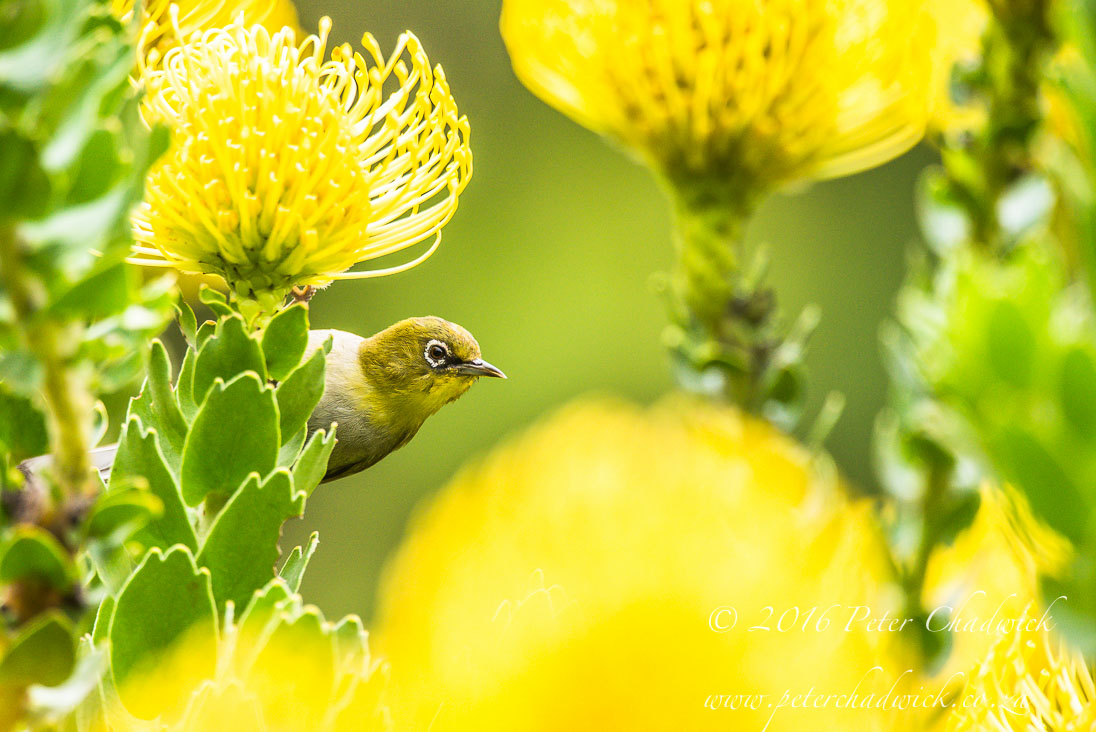 Cape White-Eye and Pincushion flowers_©PeterChadwick_AfricanConservationPhotographer