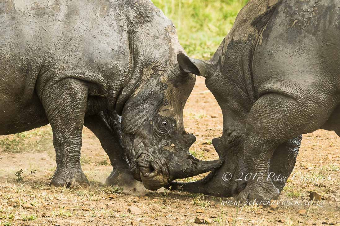 Fighting White Rhino Bulls_©PeterChadwick_AfricanConservationPhotographer