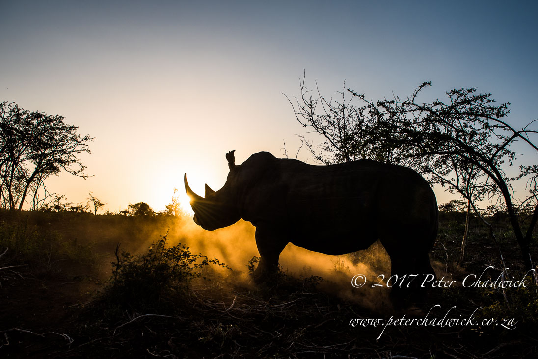 White Rhino Sunset_©PeterChadwick_AfricanConservationPhotographer