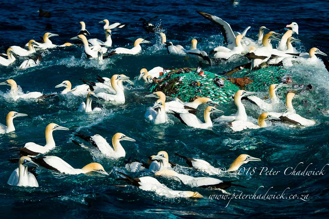 Cape gannets and commercial fisheries_©PeterChadwick_AfricanConservationPhotographer