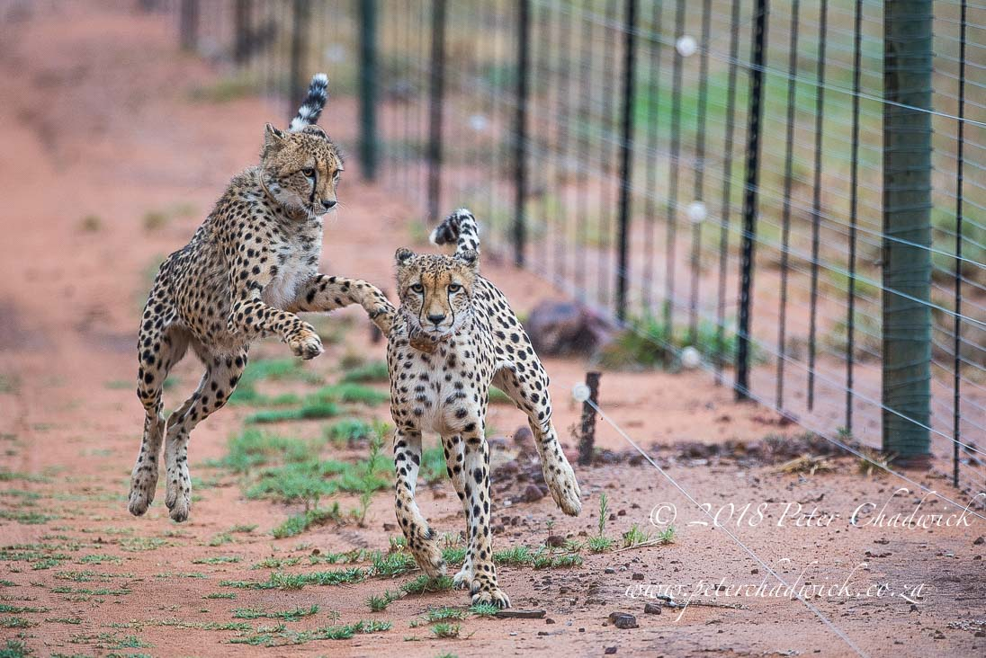 Cheetah and fences_©PeterChadwick_AfricanConservationPhotographer