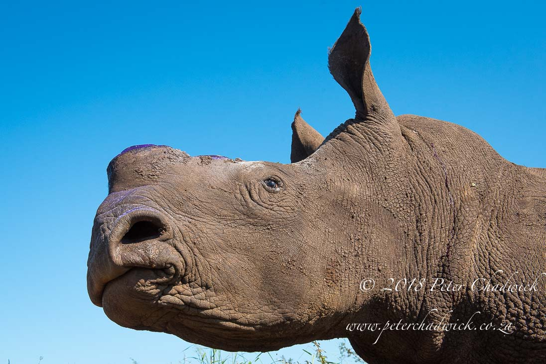 Dehorning southern white rhinos_©PeterChadwick_AfricanConservationPhotographer